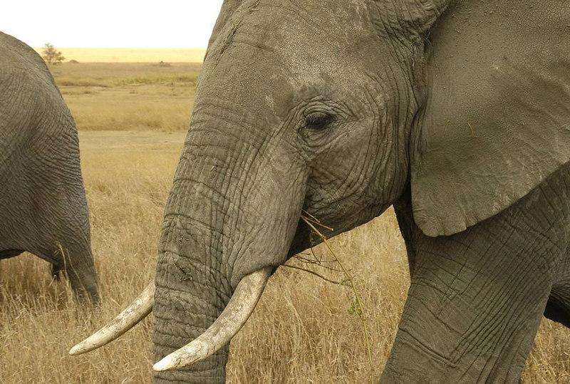 x_103 close-up of elephant munching greenery