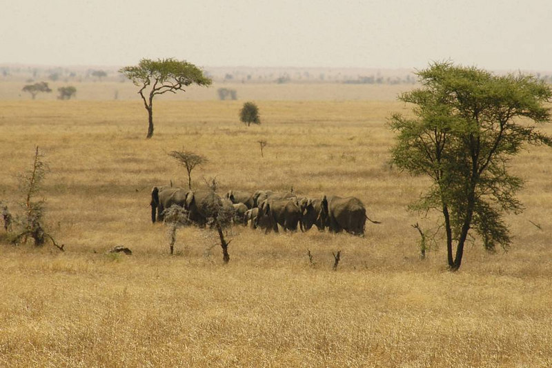 x_007 Elephant herd crossing the plains