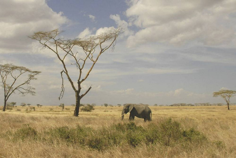 x_109 lone elephant on the savanna