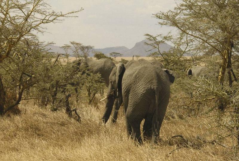x_081 elephants lumbering through the thornbush