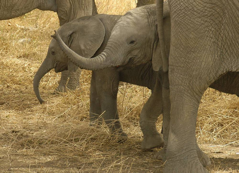 x_084 couple of baby elephants