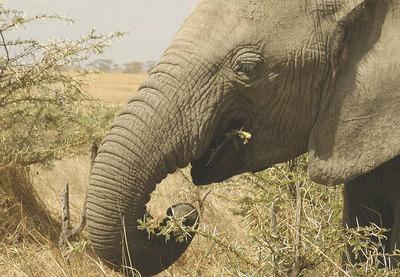 061010c Serengeti - only elephants