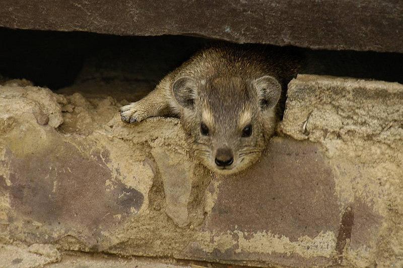 x_10 peek-a-boo hyrax