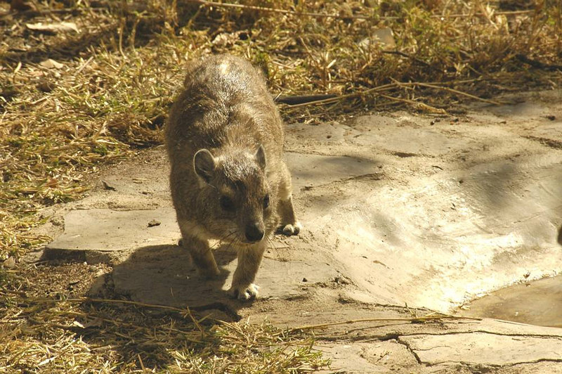 x_16 hyrax coming to check out the photographer