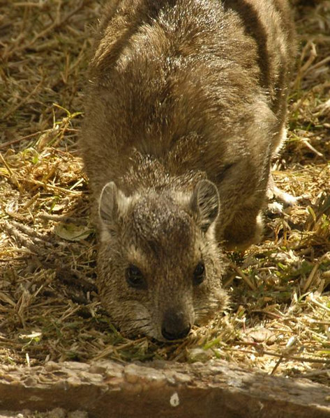 x_17 killer hyrax stalking photographer