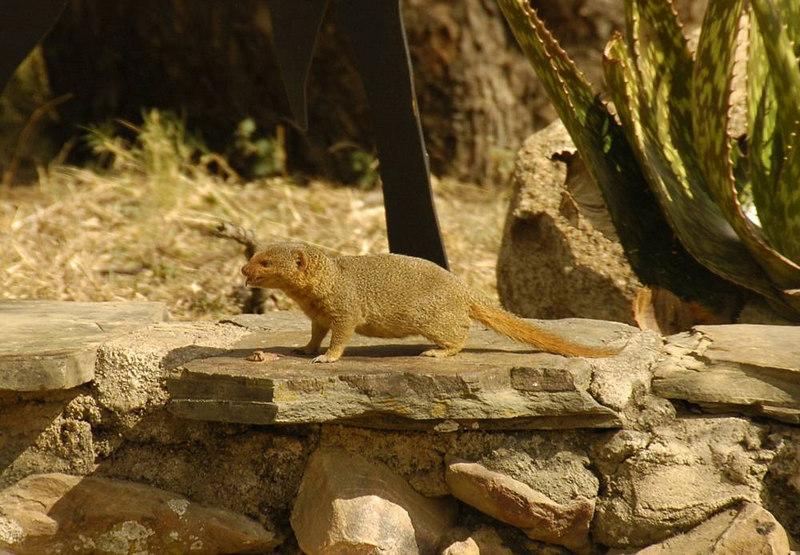 x_05 dwarf mongoose