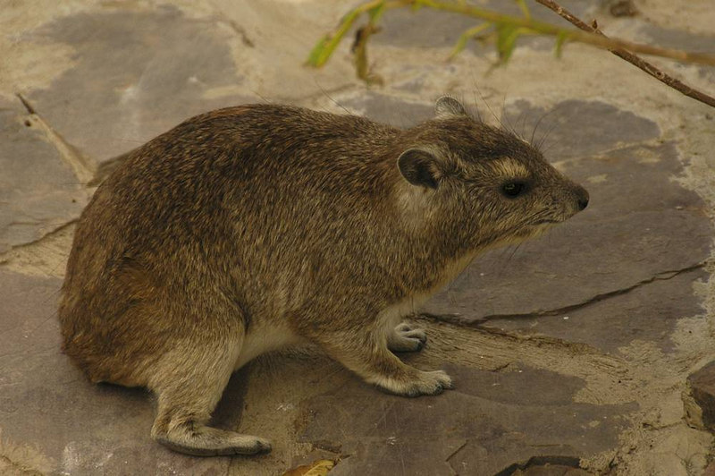 x_08 hyrax on fieldstone deck