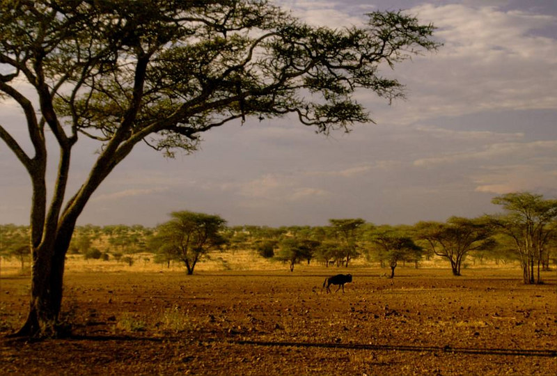 x_36 lone wildebeest on rocky plain