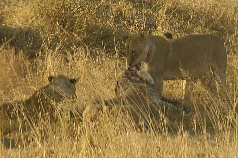 x_21d  lionesses share a meal