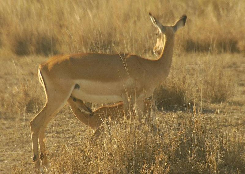 x_12a Impala doe and fawn