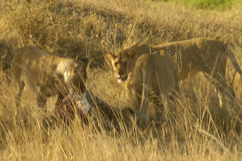 x_21b lionesses share a meal