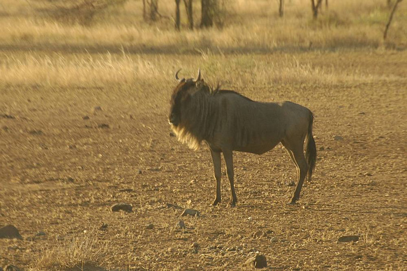 x_35 lone wildebeest - zoomed