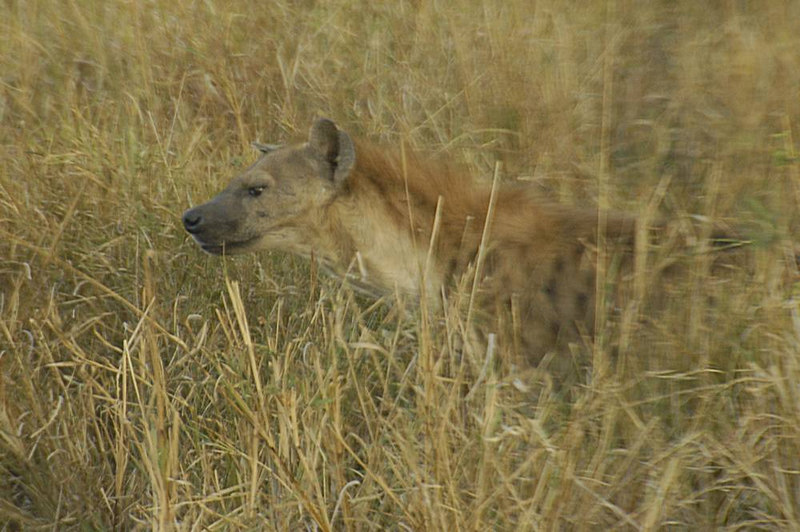 x_31 spotted hyena in dry grass