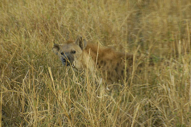 x_32 spotted hyena looking at camera