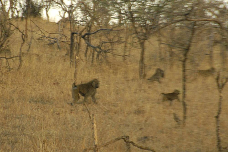 x_34 baboon clan running for cover