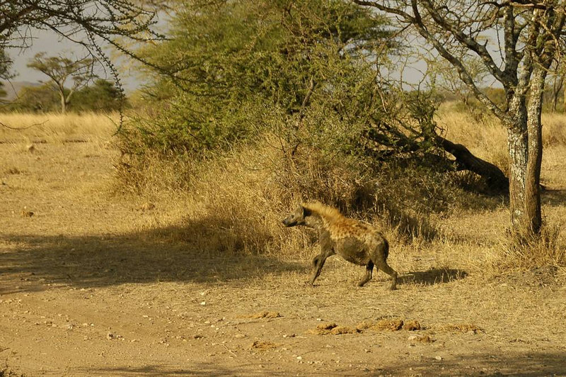 x_14 lone spotted hyena in late afternoon