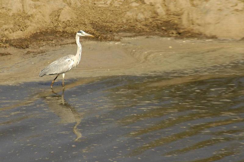 x_23 grey heron