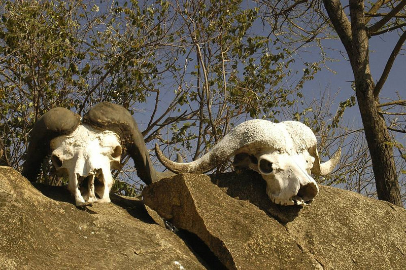 x_11 two buffalo skulls displayed on rock