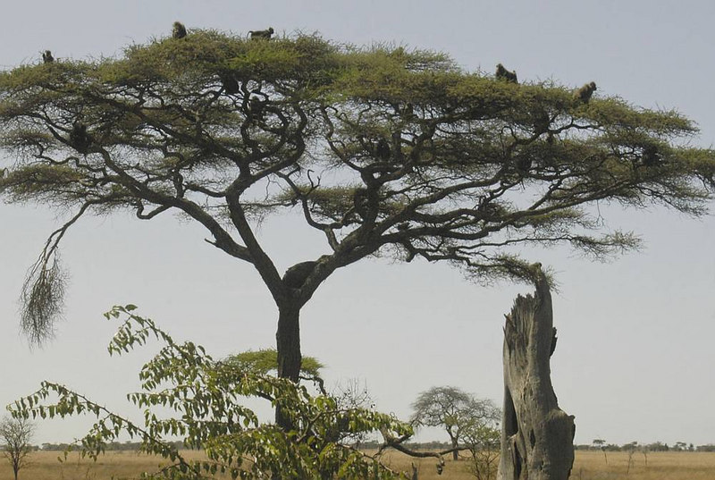 x_30 baboon tree