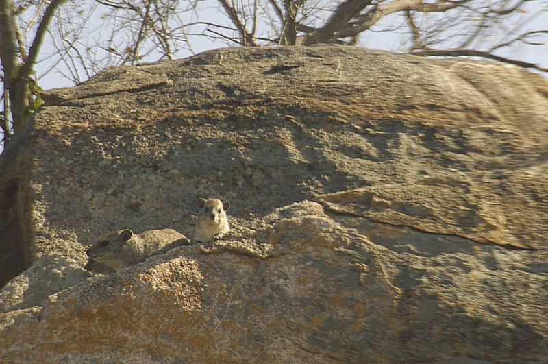 x_09 Hyrax mom and child on rock ledge
