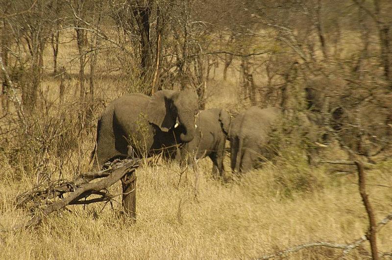x_13 elephants on wooded hillside