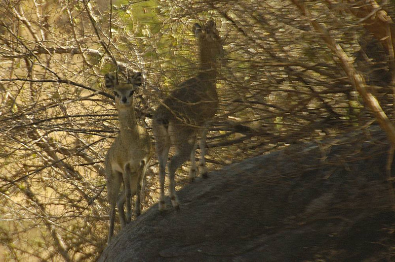 x_07 Klipspringer pair in shadow on rock