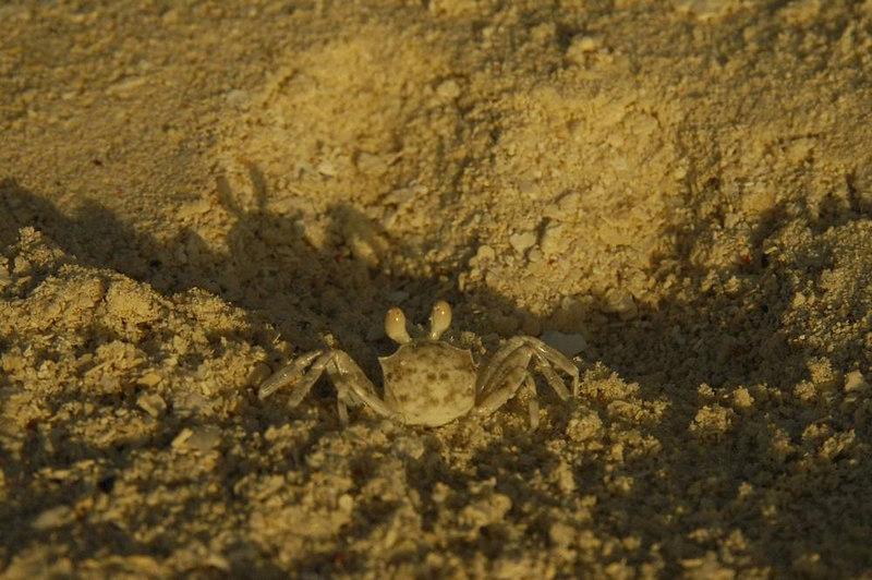 x_94 tiny sand crab