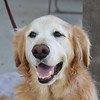 Cody is 11 going on 8. Quite a lot of energy for a senior. Beautiful face and an absolutely delightful dog.