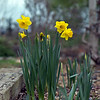 Some daffy looking yellow flower