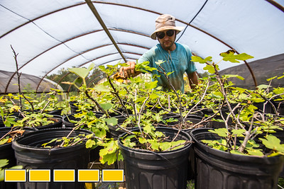 King of Crops is a working farm still in its beginning stages.  Stephen Dobek manages the farm in Winston, GA where he weeds the starter fig bushes that aren't yet ready for the ground.  Ingredients for King of Pops will be sourced from the farm.  Some crops, like basil and blackberries, already are part of the pops production.  (Jenni Girtman / Atlanta Event Photography)