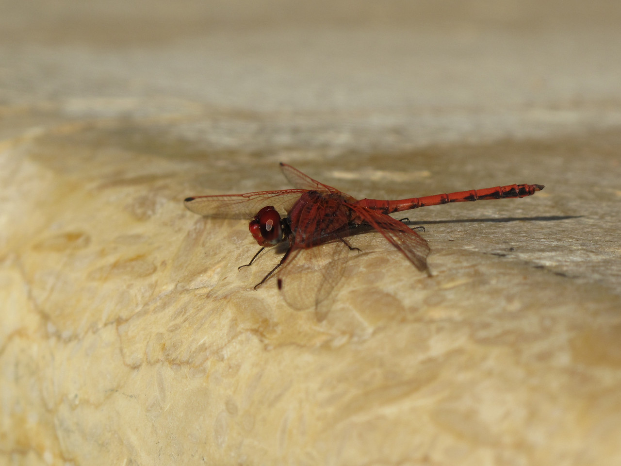 We saw this unusual red dragonfly at the pool.