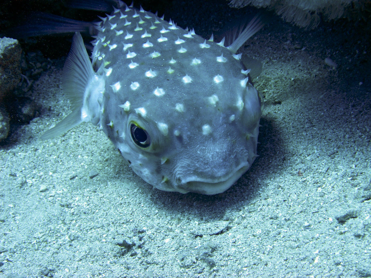 Puffer fish.