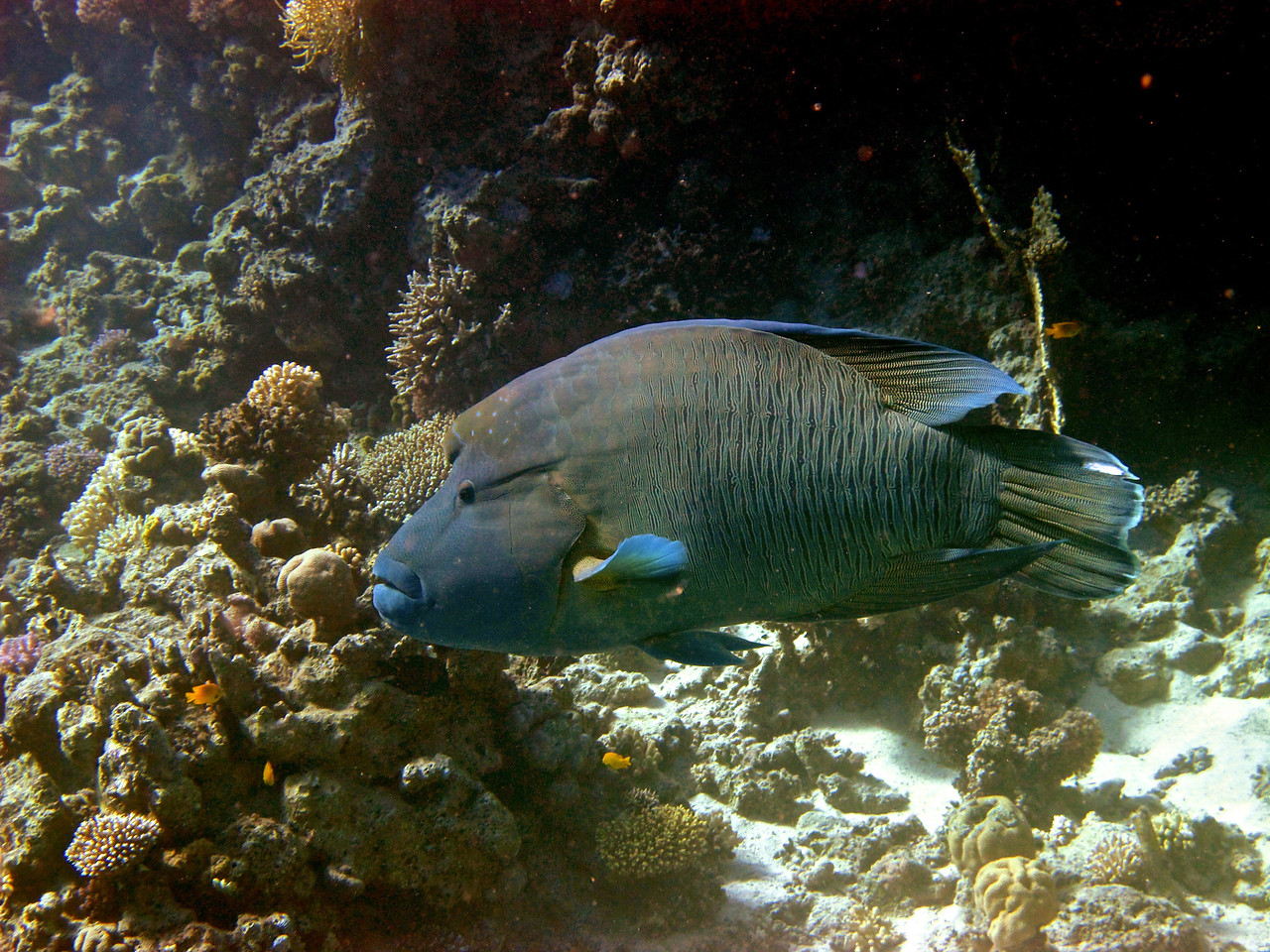 Napolean fish.