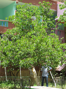 Locals harvest cherries from a tree outside a cafe.  If you look closely at the top of the tree, you can see the man at the top picking cherries.