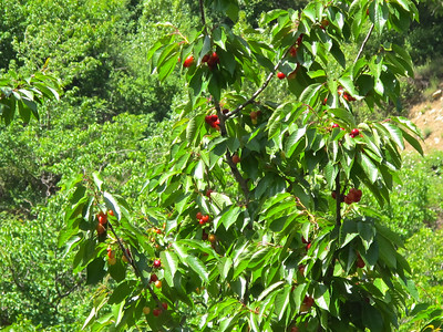 Cherries are a large crop in this region of the mountains and you'll pass these and many other types of fruit trees as you hike to the falls.