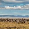 PANO 2 - zebra & wildebeast migration - HDR - Serengeti-7432