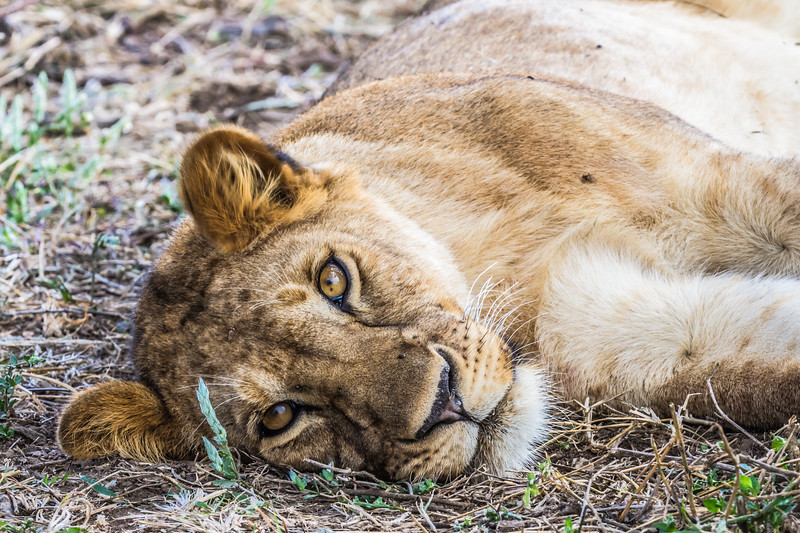 Lion laying on side in grass - Serengeti-8044