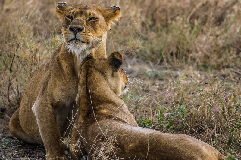2 lionesses resting in grass - Serengeti-8082