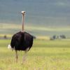 Ostrich 2 - Ngorongoro-6359