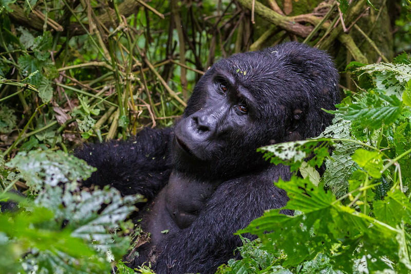 Silverback - young one - waist up - Uganda-9664