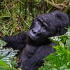 Silverback - young one - waist up - Uganda-9664