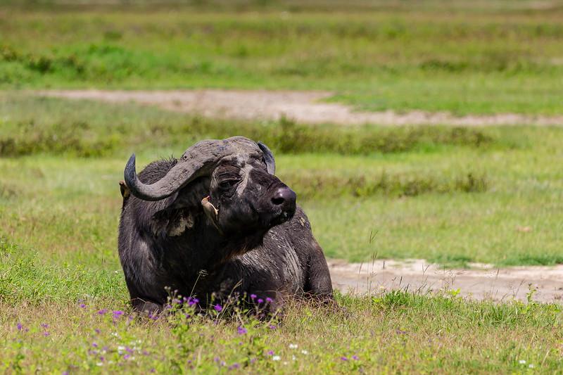 Buffalo and Oxpecker- Nygoronygoro-6206