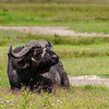 Buffalo and Oxpecker- Nygoronygoro-6206
