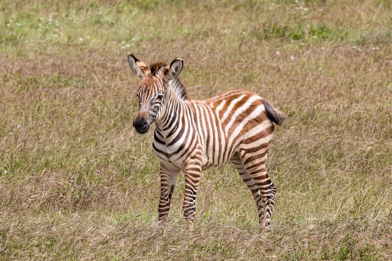 Baby Zebra- Ngorongoro-6090