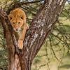 Lion cub in tree - Serengeti-6342