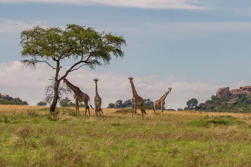 4 giraffe and acacia tree - Serengeti-5861