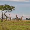 4 giraffe and acacia tree - Serengeti-5861