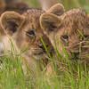 2 lion cubs- Serengeti-6669