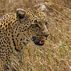 Leopard tall grass 2 - Serengeti-7962