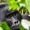 Silverback - lg one - closeup 2 - Uganda-9347